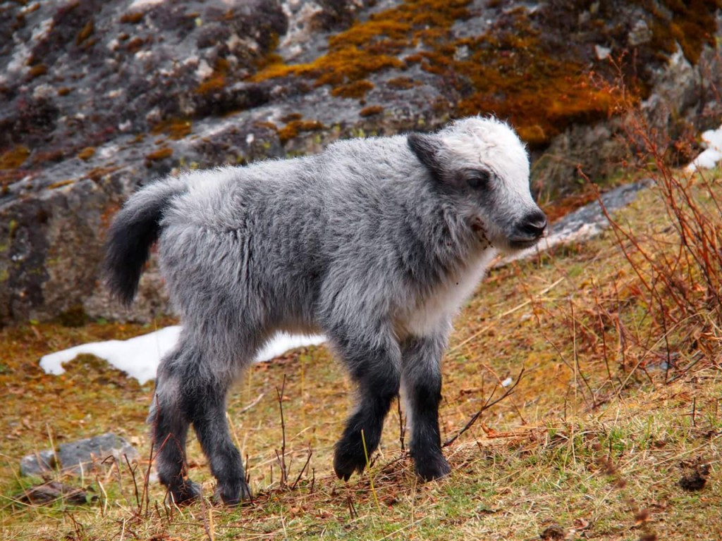 Silver Baby Yak
